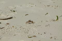 Small white crab on sand Royalty Free Stock Photos