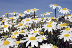 Small white daisies. Beautiful small white daisies growing wild in a field, Feb and March Stock Images