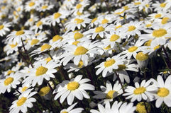 Small white daisies Royalty Free Stock Photo