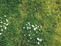 Small White Daisies in Grass Stock Photography