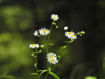 Small white daisies. Green background of grass Stock Photo