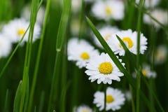 Small white daisies Royalty Free Stock Photos