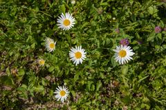Daisies in the field stock photography