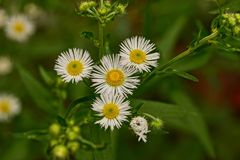 Small white daisies on a green stalk in a field Stock Photography