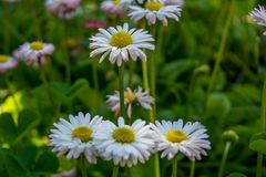 Small white daisies growing in the garden. During spring time Royalty Free Stock Photo