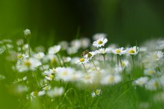 Small white daisy flowers with a bee Royalty Free Stock Photos