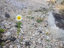 Small white Daisy grows among the stones royalty free stock images