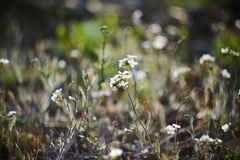 Small white delicate spring flowers stock photography