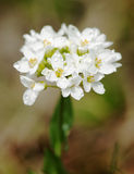 Small white dewy flowers Stock Image