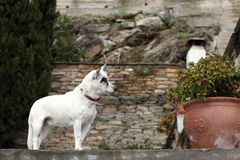 Small white dog Royalty Free Stock Image