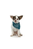 Small white dog with a blue bandana Stock Image