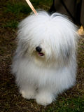 Small white dog, breed-ODIS Royalty Free Stock Photos