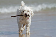Small White Dog Carrying a Stick at the Beach Stock Photo