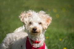 Small white dog with curly hair is very curious Royalty Free Stock Photography