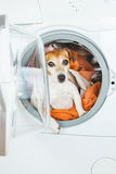 Small white dog  inside washing machine. Royalty Free Stock Photography