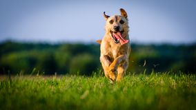 A small white dog jack russell terrier running on meadow in the rays of the setting sun. A small white dog jack russell terrier running on meadow in rays of the stock photo