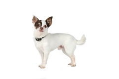 Small white dog with large black ears Stock Photography