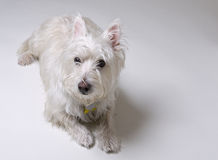 Small White Dog Laying Down royalty free stock photography