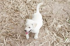 White small dog on the ground. Small white dog lovely on playing on the ground Stock Photo