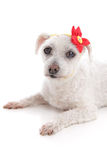 Small white dog lying down resting. Small little white maltese terrier lying down.  Wearing a yellow bandana scarf with a decorative red and yellow flower Stock Images
