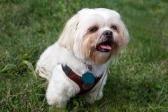 Small white dog outside. Small white dog, maltese or shitzu, sits outside Royalty Free Stock Photography