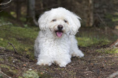 Small White Dog Panting as it Takes a Rest on a Forest Walk Royalty Free Stock Images