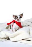 Small white dog with red bandanna around it's neck Royalty Free Stock Photography