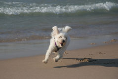 Small White Dog Running on Beach Royalty Free Stock Images