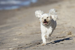 Small White Dog Running on a Sandy Beach Royalty Free Stock Photo
