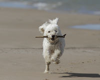 Small White Dog Running with a Stick on the Beach Stock Photos