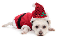 Small white dog in santa suit. A white maltese terrier wearing a red santa suit and lying down on floor Royalty Free Stock Photos