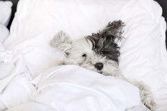 Small white Dog sleeping in bed Stock Image