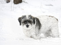 Small white dog in the snow Stock Photography