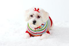 Small White Dog in Winter Scene Royalty Free Stock Image