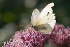 Small white drinking nectar Stock Photo