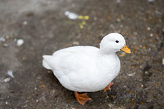 Small white duck Stock Photo