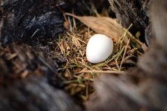 Small white egg in wild bird nest in the hollow of a tree. With dry leaves and grass and natural wood texture royalty free stock image