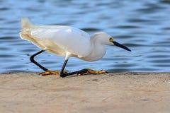 Small white egret fishing at lake Stock Image