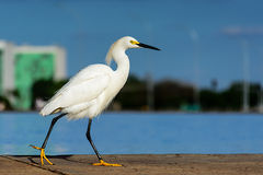 Small white egret at lake Stock Photography