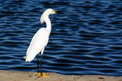 Small white egret stand at lake Royalty Free Stock Photo