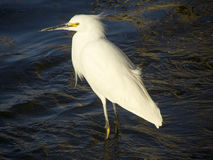 Small white egret. A very beautiful bird with an exquisite white on the seashore. They are birds of observation difficult. Exotic and migratory royalty free stock photography