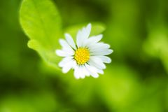Small white field flower Bellis perennis in grass. Small white field flower Bellis perennis, common daisy, lawn daisy or English daisy in grass, selective focus Stock Images