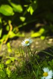 Small white field flower Bellis perennis in grass. Small white field flower Bellis perennis, common daisy, lawn daisy or English daisy in grass Royalty Free Stock Photo