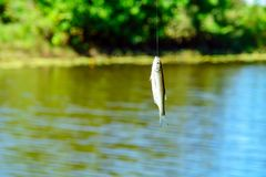 Small white fish on a hook Royalty Free Stock Photography