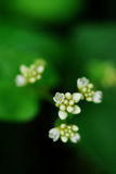 Small white flower. Some small white flowers and green leaves stock photography
