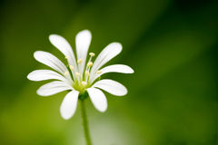 Small White Flower Royalty Free Stock Photos