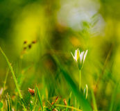 Small white flower on the background of green grass on outdoors close-up macro Stock Photos
