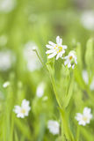 Small white flower blossom closeup Stock Photo
