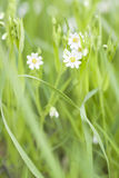 Small white flower blossom closeup Royalty Free Stock Photography
