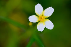 Small white flower. Royalty Free Stock Image